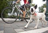 Vyras, prisirišęs šunį prie dviračio, pavadėliu pakirto kojas nėščiai moteriai