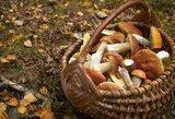 Mikologas perspėja: apsinuodyti galima ir nenuodingais grybais