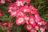 Kaune pražydo tūkstančiai rožių: pasakė, kodėl jos yra ypatingos