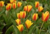 Kaune sužydo ankstyvosios tulpės, kurių bet kur nepamatysite