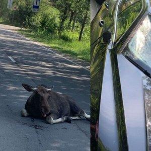 Vilniuje per avariją sunkiai sužalotas briedžių jauniklis