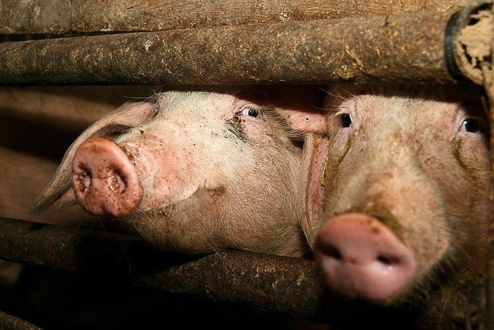 Kiaulių maras (nuotr. BFL)