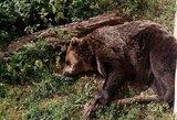 Aiškėja aplinkybės, kaip netoli Joniškio meška ištrūko į laisvę: laukia vieno sprendimo