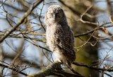 Krachą lietuviškoms žiemoms prognozuoja jau išsiritę ir ūkaujantys pelėdžiukai