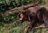 Telšius apėmė baimė: apylinkėse siaučia agresyvi meška, skaičiuojamos pirmosios aukos