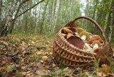 Grybautojų miške laukia ne tik baravykai