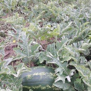 Dzūkės kieme - dešimtys arbūzų: užaugino pati