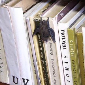 Šikšnosparniai bibliotekoje