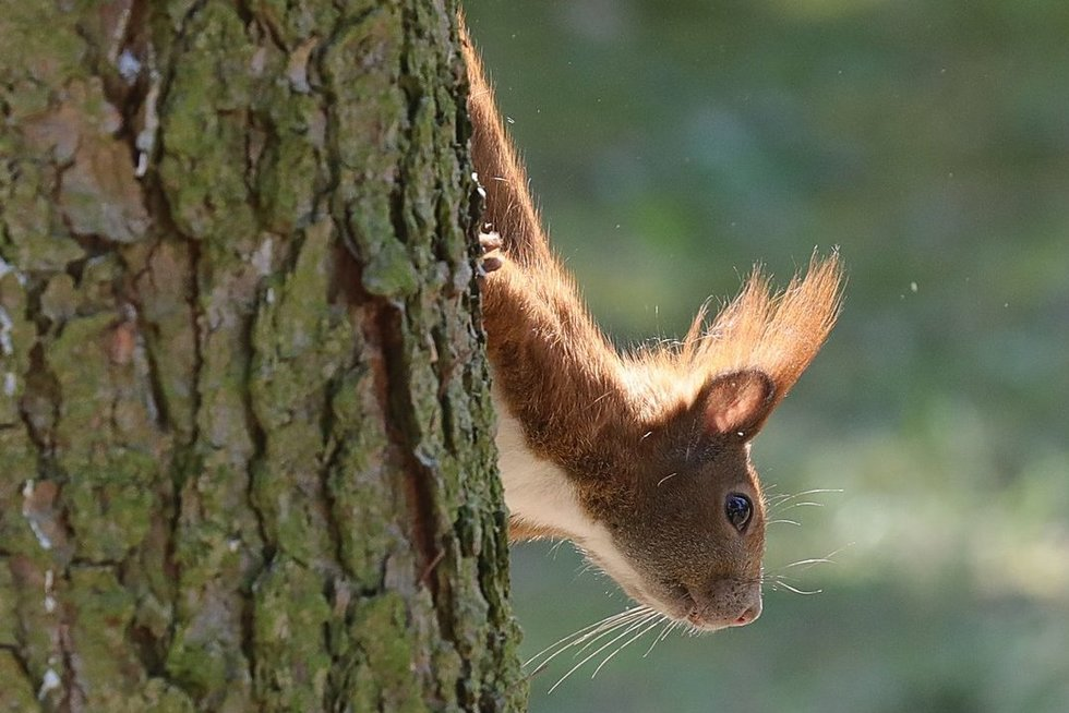 Voverė (nuotr. SCANPIX)