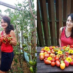 Daivos šiltnamyje – įspūdingas pomidorų derlius: ant krūmo po 10 kilogramų