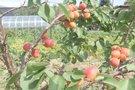 Persikų augintojų laimė: dėl šylančio klimato derlius itin gausus (nuotr. stopkadras)