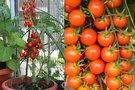 Pomidorų auginimas (nuotr. 123rf.com)