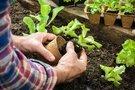 Salotų auginimas  (nuotr. 123rf.com)