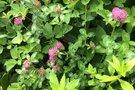 Patvorio žolė kovoja su menopauze