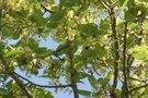 Kvepiančių liepų pradžia – gamtininkai vadina anomalija