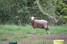 Vilkai papjovė avis (nuotr. tv3.lt)