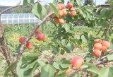 Nejuokingi orų pokyčiai: Lietuvoje įprastus augalus jau keičia egzotiniai