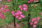 Užburianti vieta Lietuvoje: pražydo per tūkstantis skirtingų rūšių rožių