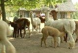 Populiarėjantis gydymas alpakomis – jau ir Lietuvoje