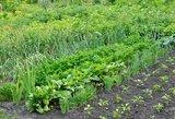 Pasodinkite šį augalą savo darže: veiksmingiau už trąšas