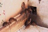 Vilniaus daugiabutį užpuolė žiurkės: gyventojai panikuoja