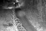 Pasieniečiai užfiksavo nelegalą šerną: naktį iš Rusijos į Lietuvą išsirausė tunelį