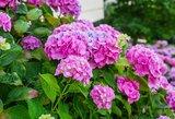 Pasodinkite stebuklingą gėlę sode: magija įvyks, kai įdėsite vinių į duobę