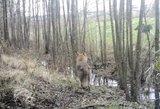 Lietuva prisidės prie Baltarusijos kovos su laukinių gyvūnų pasiutlige