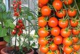 Pabarstykite šiuo mišiniu pomidorus: augs kaip išprotėję