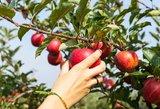Obuolių sulčių mėgėjams – liūdnos naujienos