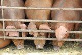 Rusija: kiaulienos iš Baltijos šalių ir Lenkijos nebus leista įvežti bent 3 metus
