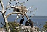 Nerimsta tendencinga didžiųjų kormoranų šmeižto kampanija