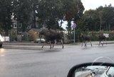 Atsakė, kodėl laukiniai gyvūnai plūsta į Lietuvos gatves