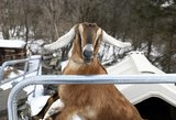JAV miestelis meru išsirinko ožį