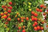 Palaistykite šiuo mišiniu pomidorus: nespėsite suskaičiuoti derliaus
