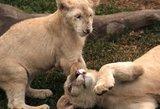 Peru zoologijos sode pristatyti du baltųjų liūtų jaunikliai