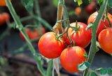 Pomidorų sėklas pasiruoškite patys: venkite šių klaidų