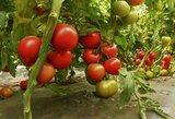 Ši natūrali trąša nepakeičiama: pomidorų nespėsite skinti