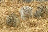 Mielumo bomba: pasaulį sužavėjo mažylės tigriukės