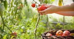Padarykite tai savo šiltnamyje dabar – pavasarį pomidorai augs, kaip pašėlę