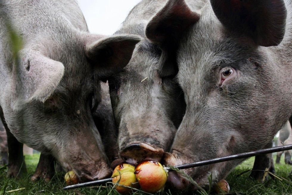 Kiaulės (nuotr. SCANPIX)