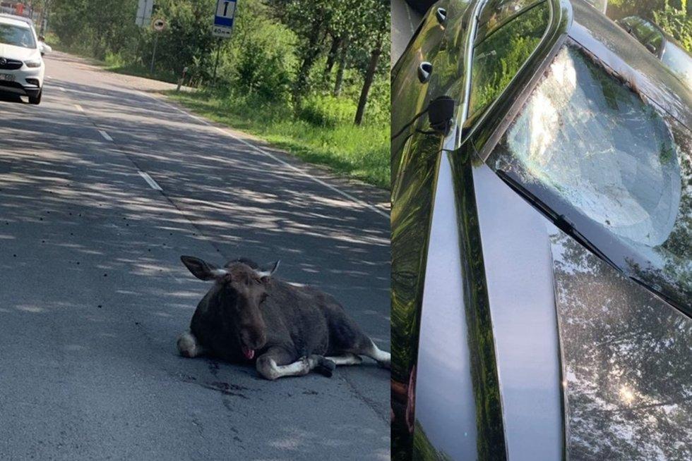 Vilniuje per avariją sunkiai sužalotas briedžių jauniklis (nuotr. facebook.com)