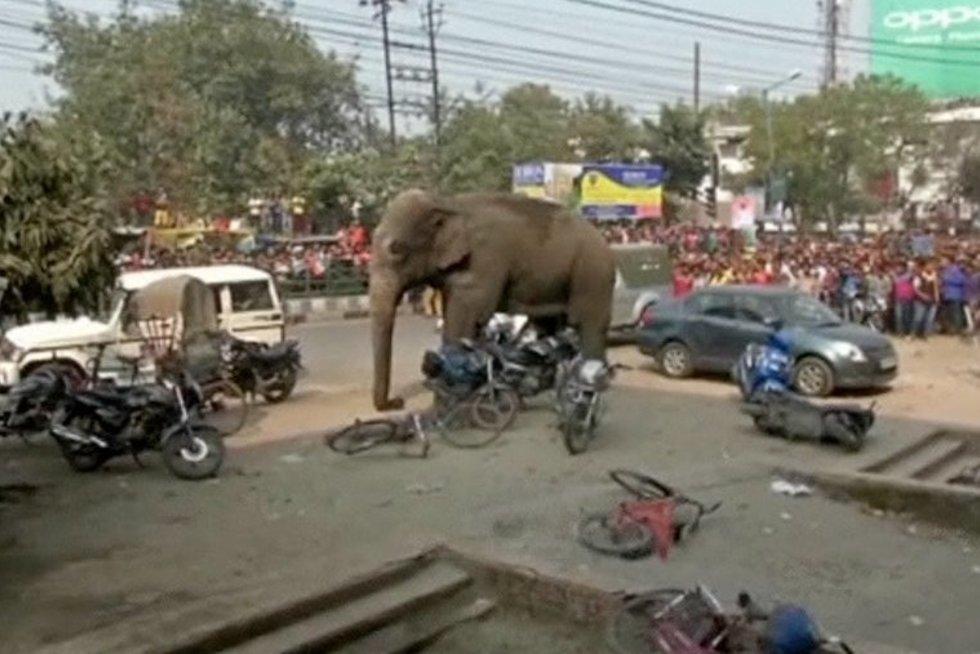 Siautėjantis dramblys (nuotr. TV3)