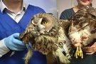 Retai sutinkami plėšrieji paukščiai – jau laisvėje  (nuotr. TV3)