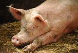 Ignalinos rajone - naujas afrikinio kiaulių maro židinys