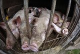 Lietuvoje – naujas afrikinio kiaulių maro židinys