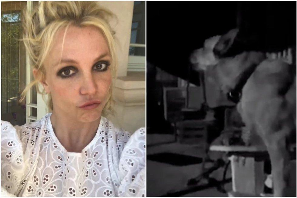Šuo imitavo Britney Spears dainą (tv3.lt fotomontažas)