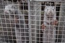 Paviešintos kraupios Lietuvos žvėrelių fermų sąlygos: vaizdai šokiruoja ( nuotr. autorių)
