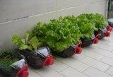 Salotų derlius pranoks lūkesčius: užaugs greičiau nei pas kaimynus