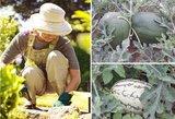 Dzūkė arbūzus augina savo kieme: gali kiekvienas